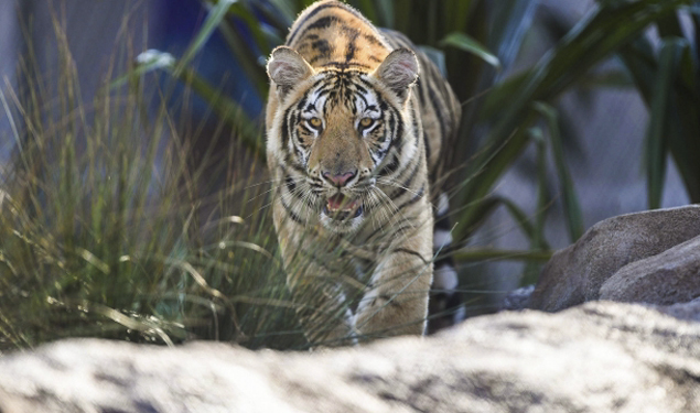HERITAGE LECTURE: MIKE THE TIGER